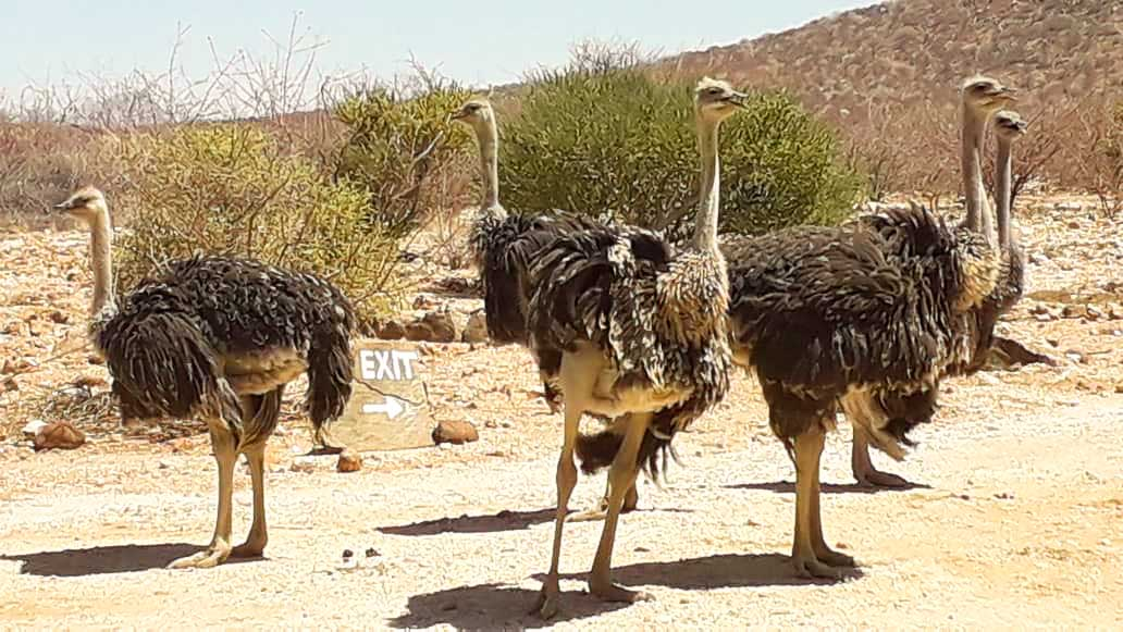 Ostriches of Hohenstein Lodge