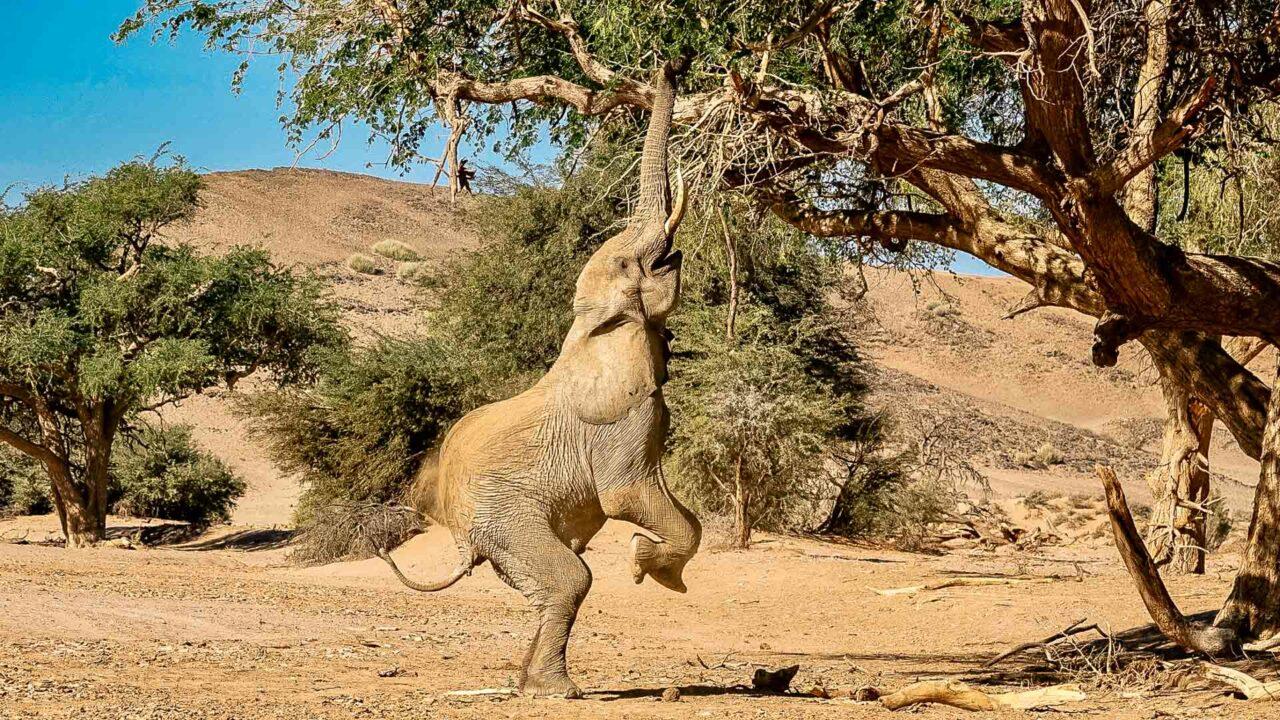Wüstenelefant beim Huab Nature Drive in Namibia